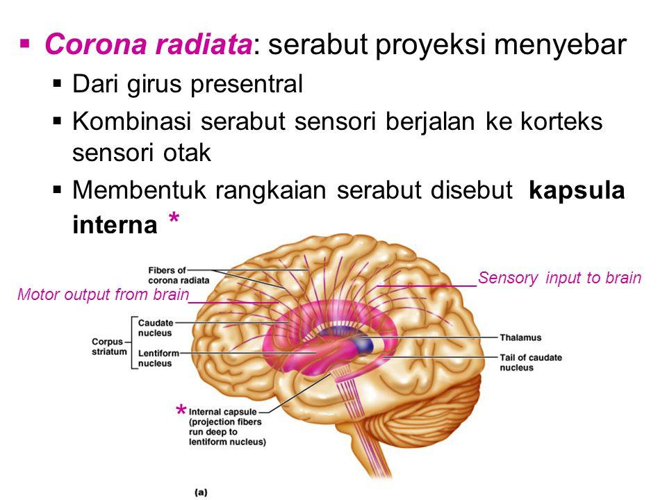  Corona radiata: serabut proyeksi menyebar  Dari girus presentral  Kombinasi serabut sensori berjalan ke korteks sensori otak  Membentuk rangkaian serabut disebut kapsula interna * ___________Sensory input to brain Motor output from brain__________ *