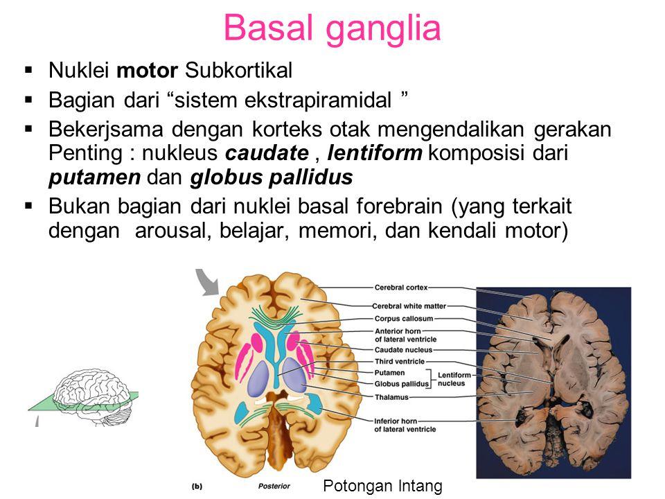 Basal ganglia  Nuklei motor Subkortikal  Bagian dari sistem ekstrapiramidal  Bekerjsama dengan korteks otak mengendalikan gerakan Penting : nukleus caudate, lentiform komposisi dari putamen dan globus pallidus  Bukan bagian dari nuklei basal forebrain (yang terkait dengan arousal, belajar, memori, dan kendali motor) Potongan lntang