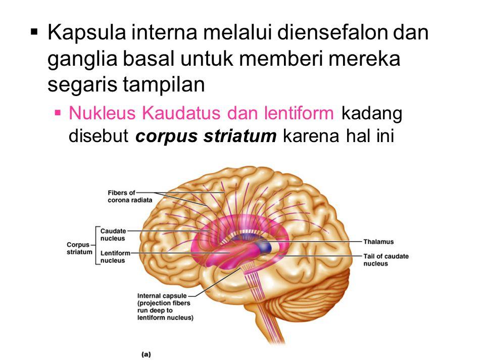  Kapsula interna melalui diensefalon dan ganglia basal untuk memberi mereka segaris tampilan  Nukleus Kaudatus dan lentiform kadang disebut corpus striatum karena hal ini