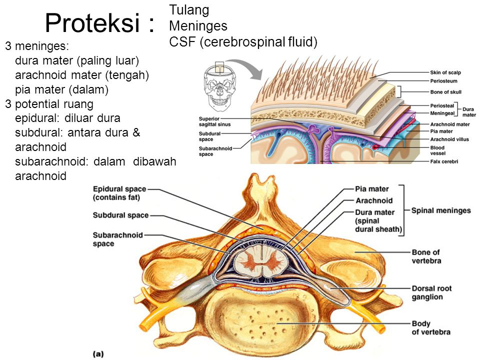 Proteksi : Tulang Meninges CSF (cerebrospinal fluid) 3 meninges: dura mater (paling luar) arachnoid mater (tengah) pia mater (dalam) 3 potential ruang epidural: diluar dura subdural: antara dura & arachnoid subarachnoid: dalam dibawah arachnoid