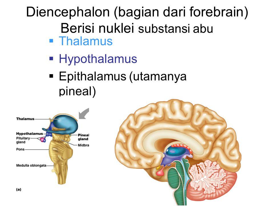 Diencephalon (bagian dari forebrain) Berisi nuklei substansi abu  Thalamus  Hypothalamus  Epithalamus (utamanya pineal)