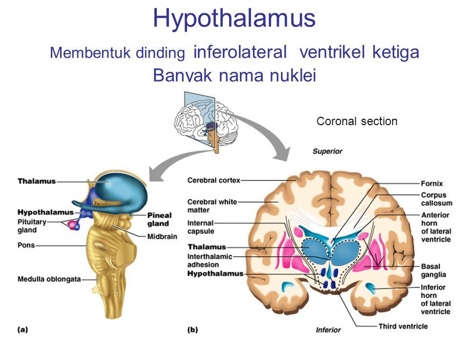 Hypothalamus Membentuk dinding inferolateral ventrikel ketiga Banyak nama nuklei Coronal section