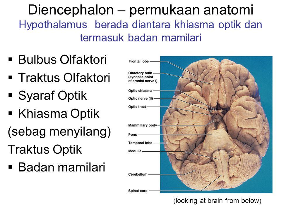 Diencephalon – permukaan anatomi Hypothalamus berada diantara khiasma optik dan termasuk badan mamilari  Bulbus Olfaktori  Traktus Olfaktori  Syaraf Optik  Khiasma Optik (sebag menyilang) Traktus Optik  Badan mamilari (looking at brain from below)