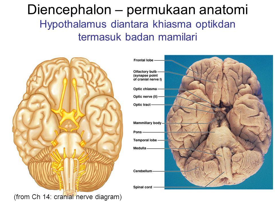 Diencephalon – permukaan anatomi Hypothalamus diantara khiasma optikdan termasuk badan mamilari (from Ch 14: cranial nerve diagram)