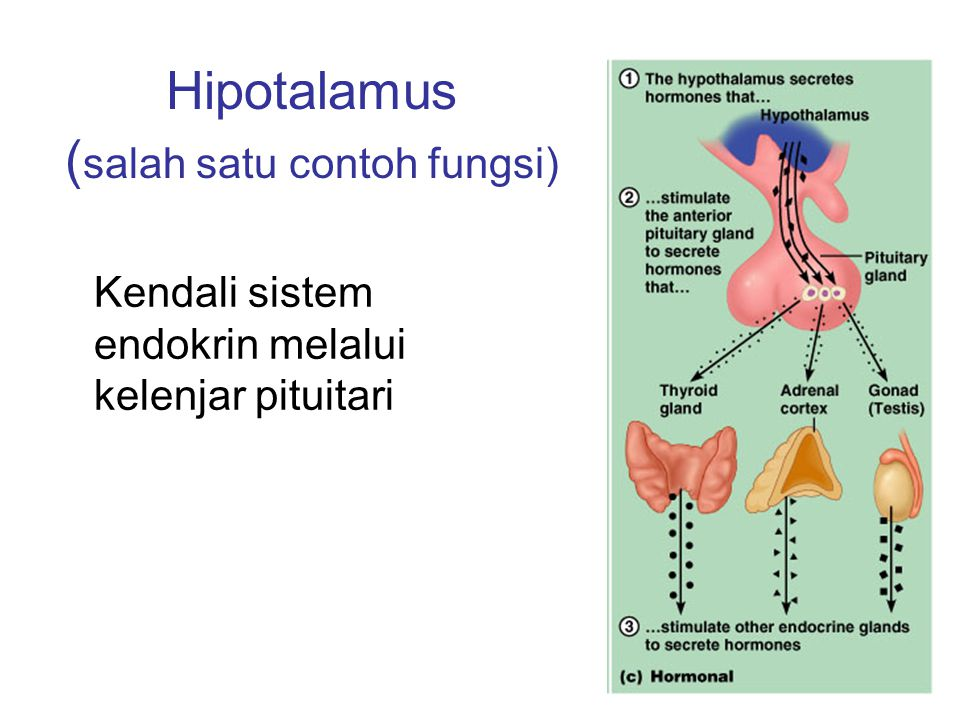 Hipotalamus ( salah satu contoh fungsi) Kendali sistem endokrin melalui kelenjar pituitari
