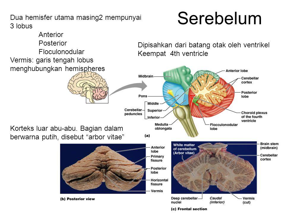 Serebelum Dua hemisfer utama masing2 mempunyai 3 lobus Anterior Posterior Floculonodular Vermis: garis tengah lobus menghubungkan hemispheres Korteks