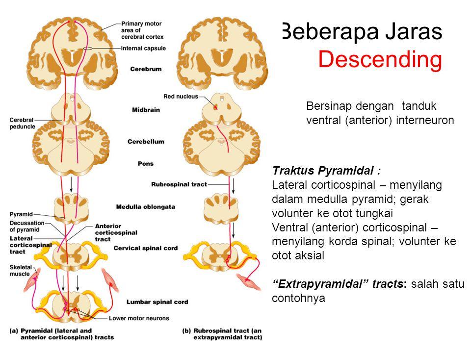Beberapa Jaras Descending Traktus Pyramidal : Lateral corticospinal – menyilang dalam medulla pyramid; gerak volunter ke otot tungkai Ventral (anterior) corticospinal – menyilang korda spinal; volunter ke otot aksial Extrapyramidal tracts: salah satu contohnya Bersinap dengan tanduk ventral (anterior) interneuron