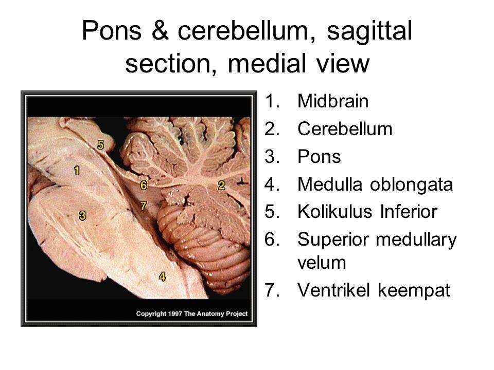 Pons & cerebellum, sagittal section, medial view 1.Midbrain 2.Cerebellum 3.Pons 4.Medulla oblongata 5.Kolikulus Inferior 6.Superior medullary velum 7.