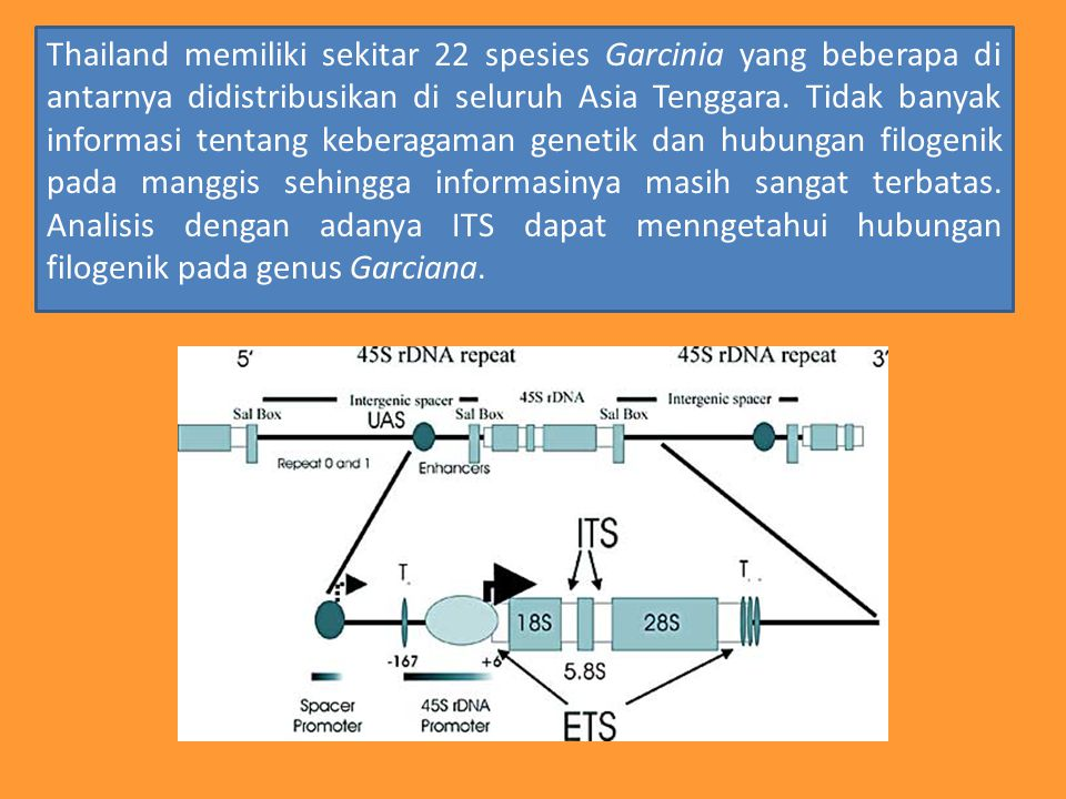 Thailand memiliki sekitar 22 spesies Garcinia yang beberapa di antarnya didistribusikan di seluruh Asia Tenggara.