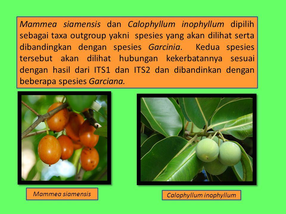 Mammea siamensis dan Calophyllum inophyllum dipilih sebagai taxa outgroup yakni spesies yang akan dilihat serta dibandingkan dengan spesies Garcinia.