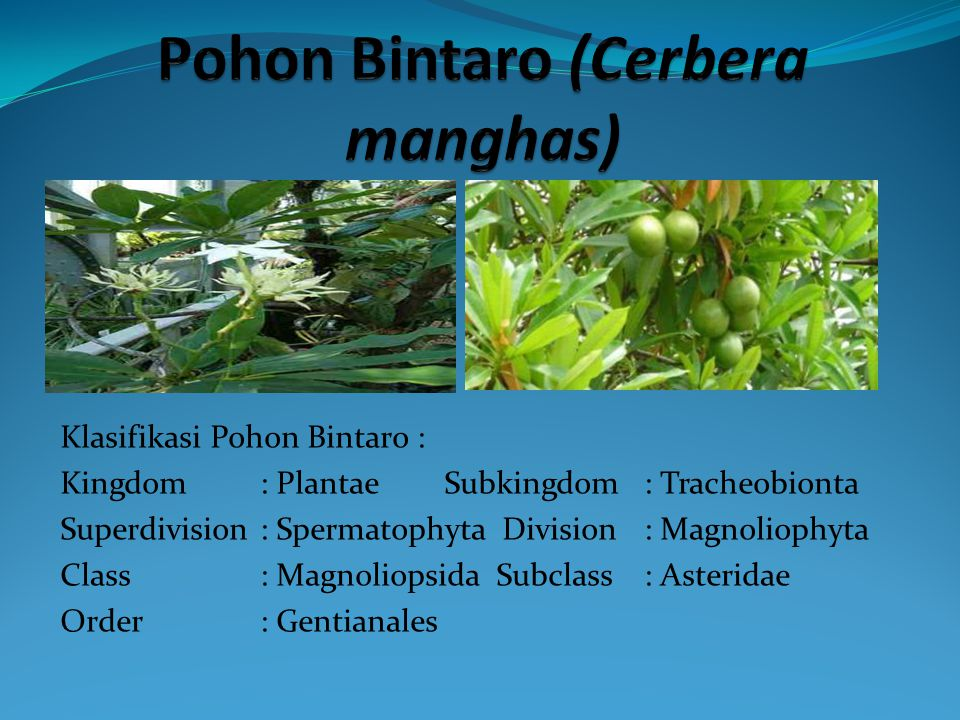 Klasifikasi Pohon Bintaro : Kingdom : Plantae Subkingdom : Tracheobionta Superdivision : Spermatophyta Division : Magnoliophyta Class : Magnoliopsida Subclass : Asteridae Order : Gentianales