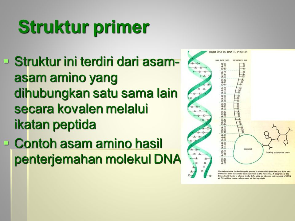 Struktur primer  Struktur ini terdiri dari asam- asam amino yang dihubungkan satu sama lain secara kovalen melalui ikatan peptida  Contoh asam amino hasil penterjemahan molekul DNA