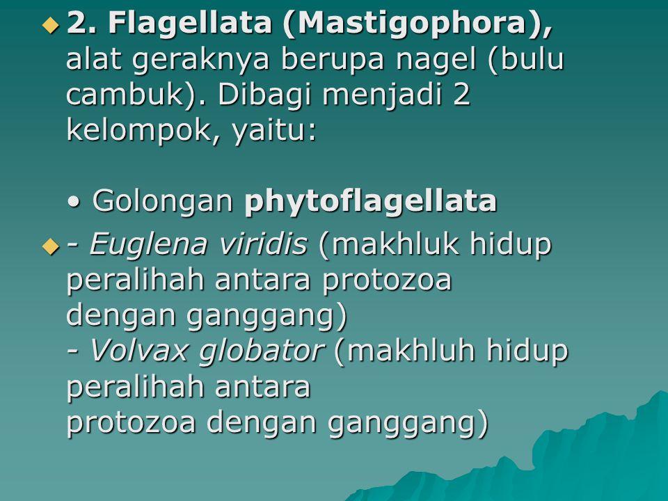  2. Flagellata (Mastigophora), alat geraknya berupa nagel (bulu cambuk). Dibagi menjadi 2 kelompok, yaitu: Golongan phytoflagellata  - Euglena virid
