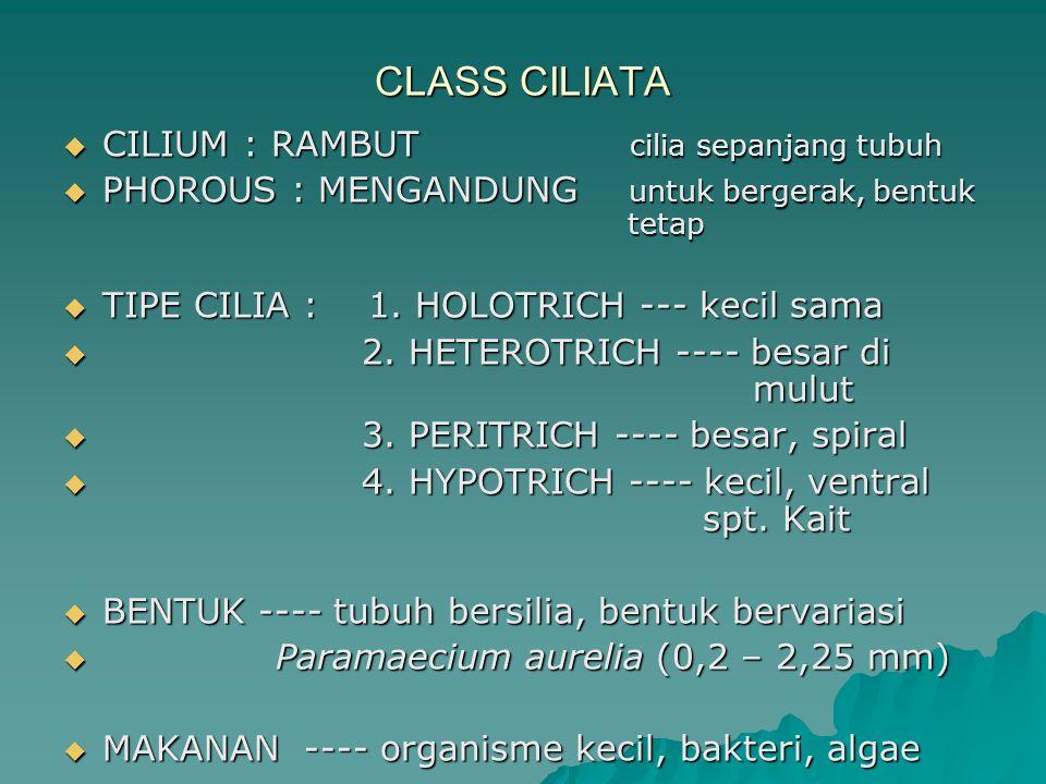 CLASS CILIATA  CILIUM : RAMBUT cilia sepanjang tubuh  PHOROUS : MENGANDUNG untuk bergerak, bentuk tetap  TIPE CILIA : 1. HOLOTRICH --- kecil sama 