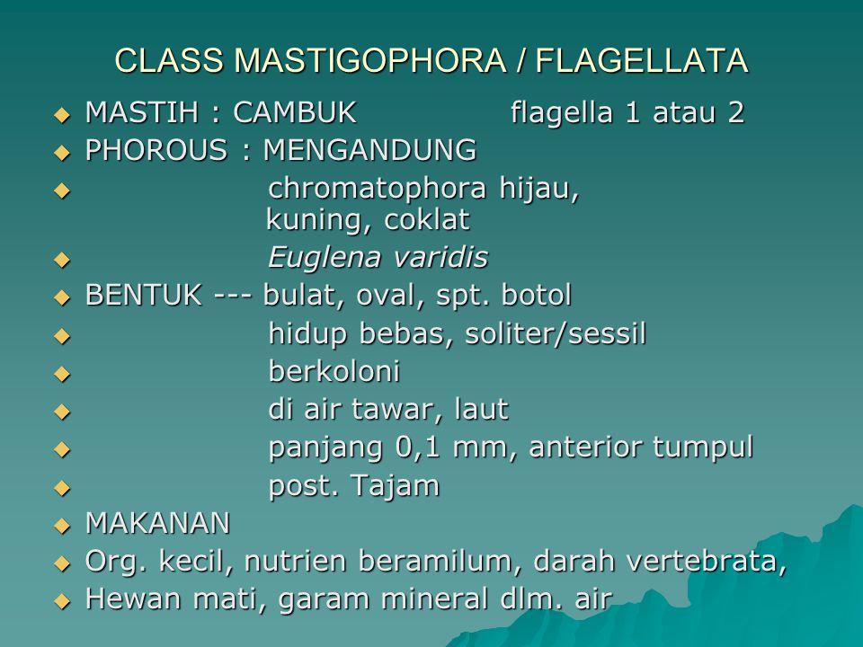 CLASS MASTIGOPHORA / FLAGELLATA  MASTIH : CAMBUK flagella 1 atau 2  PHOROUS : MENGANDUNG  chromatophora hijau, kuning, coklat  Euglena varidis  B
