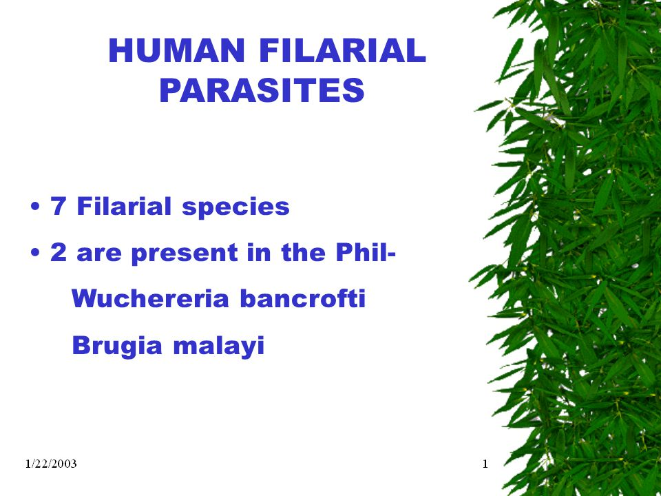HUMAN FILARIAL PARASITES 7 Filarial species 2 are present in the Phil- Wuchereria bancrofti Brugia malayi