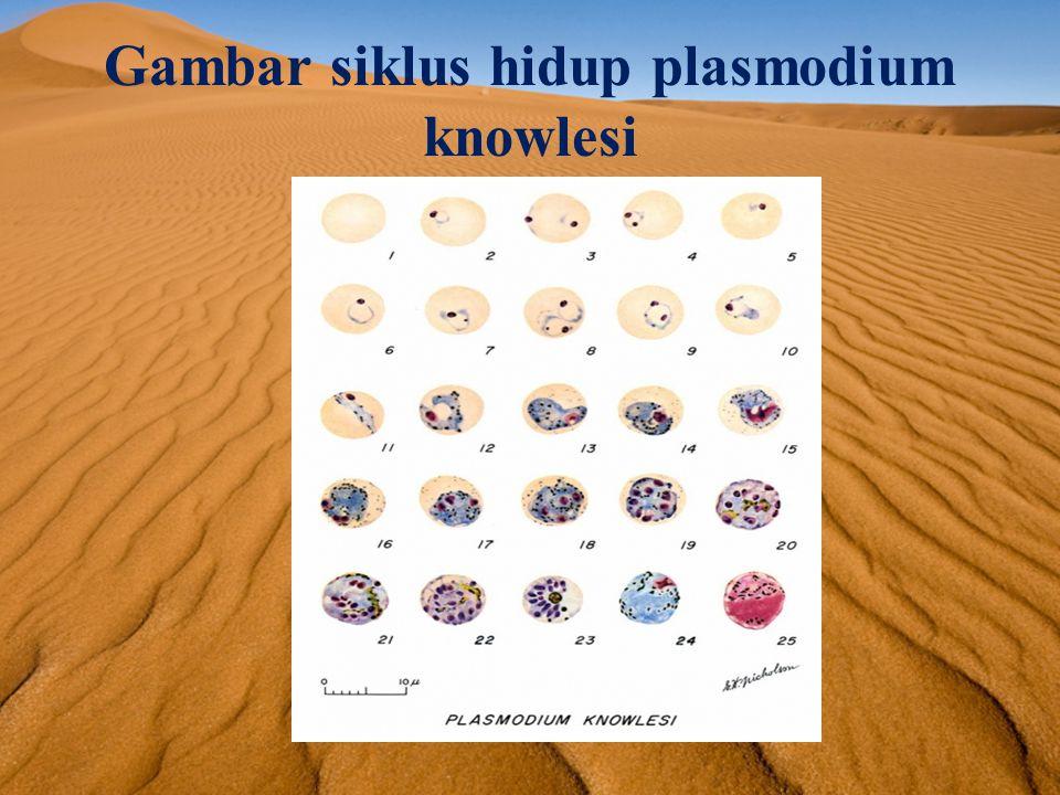 Penjelasan siklus hidup plasmodium knowlesi Vektor utama Plasmodium knowlesi adalah nyamuk Anopheles.