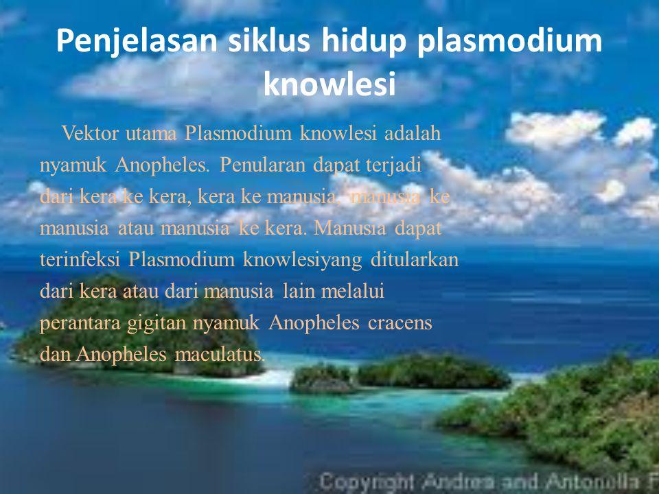 Penjelasan siklus hidup plasmodium knowlesi Vektor utama Plasmodium knowlesi adalah nyamuk Anopheles. Penularan dapat terjadi dari kera ke kera, kera