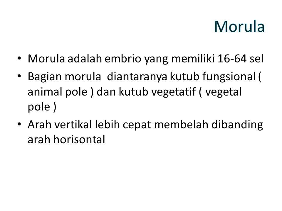 Morula adalah embrio yang memiliki 16-64 sel Bagian morula diantaranya kutub fungsional ( animal pole ) dan kutub vegetatif ( vegetal pole ) Arah vertikal lebih cepat membelah dibanding arah horisontal