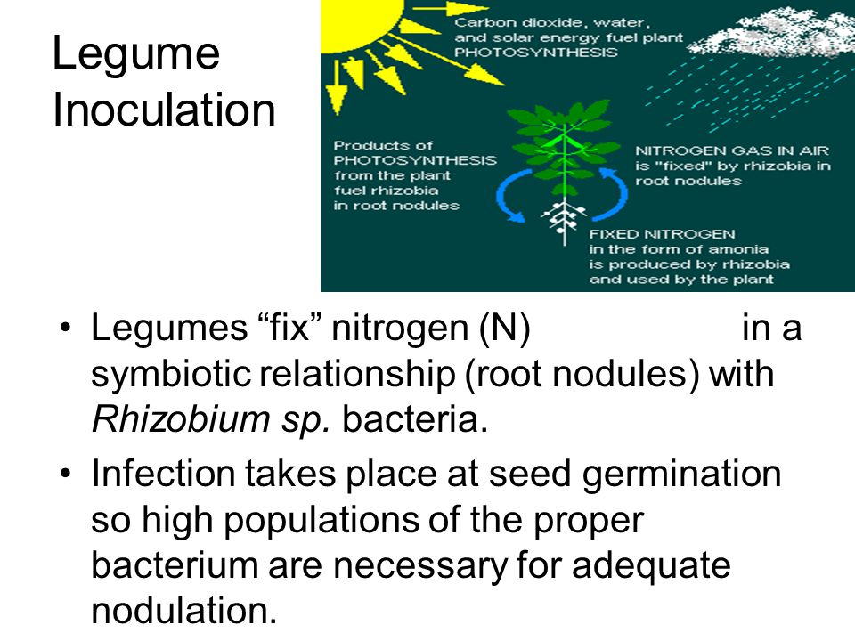 Pemberian Inokulan Rhizobium 1.Biakan bakteri dicampur perekat (larutan gula 10%) 2.Campuran dicampur benih leguminosa 3.Ditanam Tidak diperlukan untu