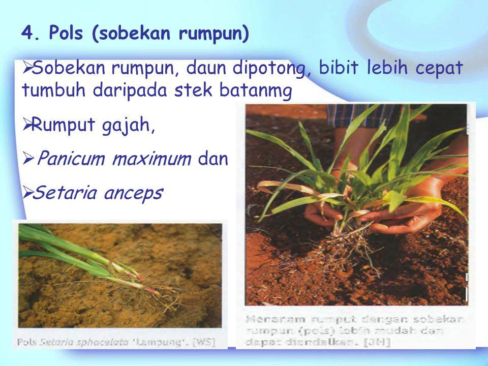 2. Stolon  Batang yang tumbuh mendatar di permukaan tanah, dapat membentuk rumpun dan akar pada buku  Brachiaria brisantha, Digitaria decumbens 3. R