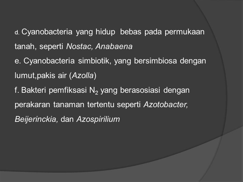 d.Cyanobacteria yang hidup bebas pada permukaan tanah, seperti Nostac, Anabaena e.