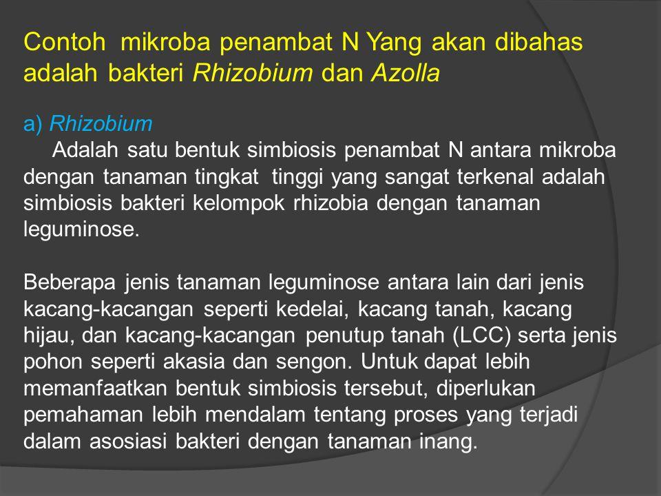 Contoh mikroba penambat N Yang akan dibahas adalah bakteri Rhizobium dan Azolla a) Rhizobium Adalah satu bentuk simbiosis penambat N antara mikroba dengan tanaman tingkat tinggi yang sangat terkenal adalah simbiosis bakteri kelompok rhizobia dengan tanaman leguminose.