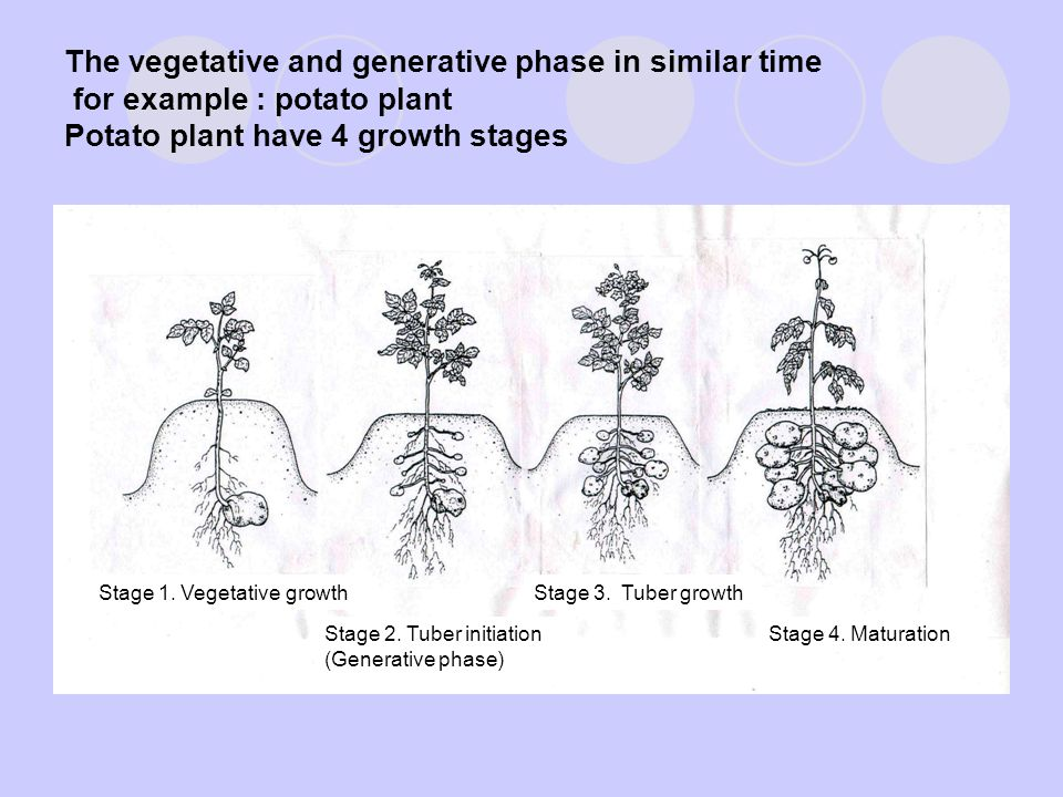 The vegetative and generative phase in similar time for example : potato plant Potato plant have 4 growth stages Stage 1.