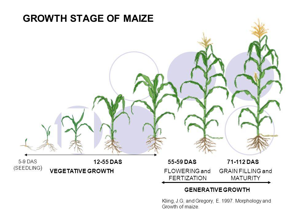 GROWTH STAGE OF MAIZE 5-9 DAS (SEEDLING ) 12-55 DAS71-112 DAS55-59 DAS VEGETATIVE GROWTHFLOWERING and FERTIZATION GRAIN FILLING and MATURITY Kling, J.