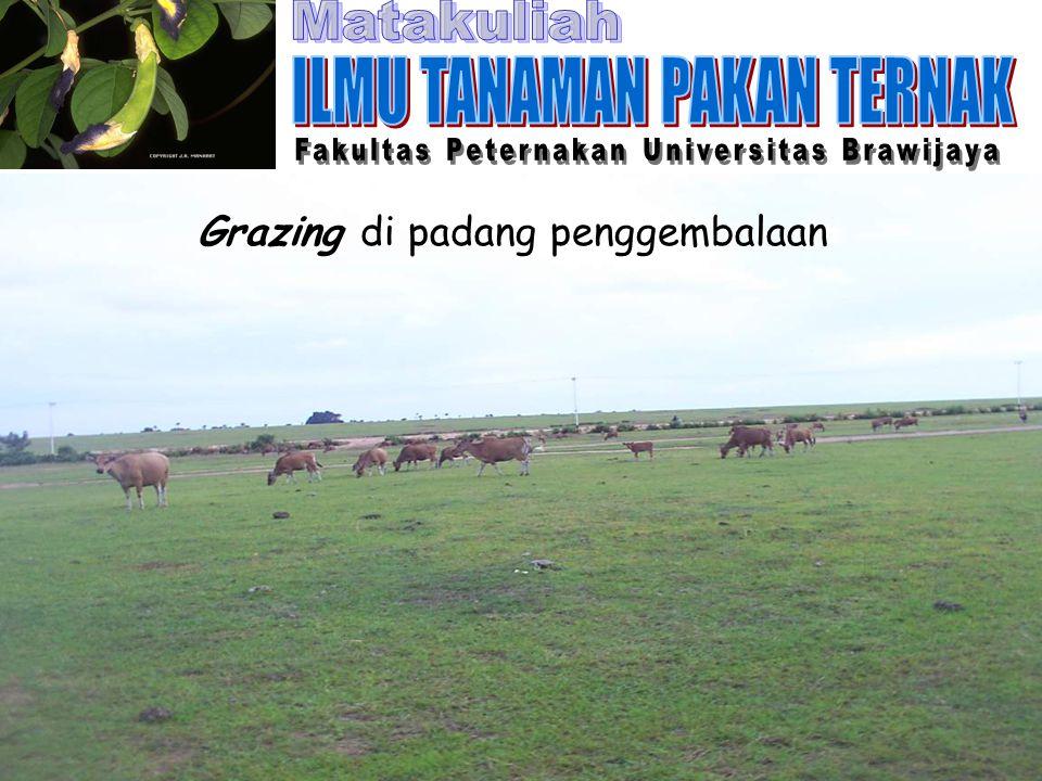 Grazing di padang penggembalaan
