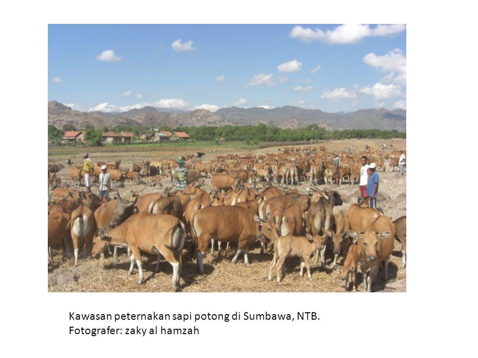 Kawasan peternakan sapi potong di Sumbawa, NTB. Fotografer: zaky al hamzah