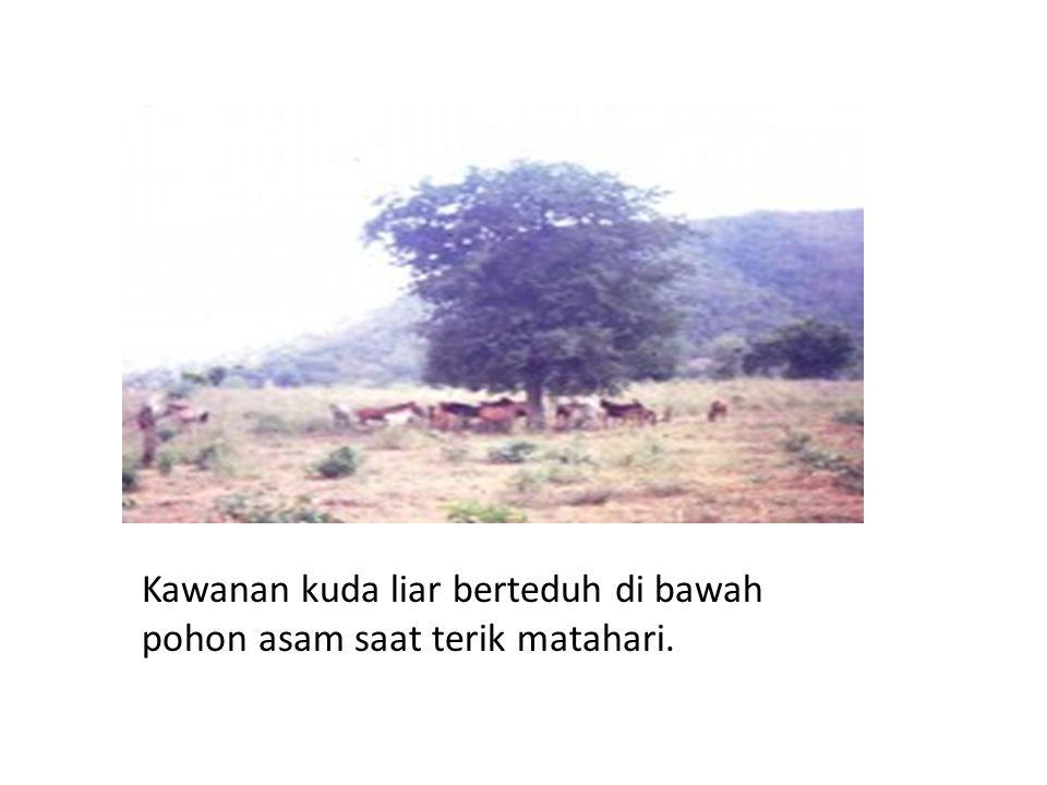 Kawanan kuda liar berteduh di bawah pohon asam saat terik matahari.