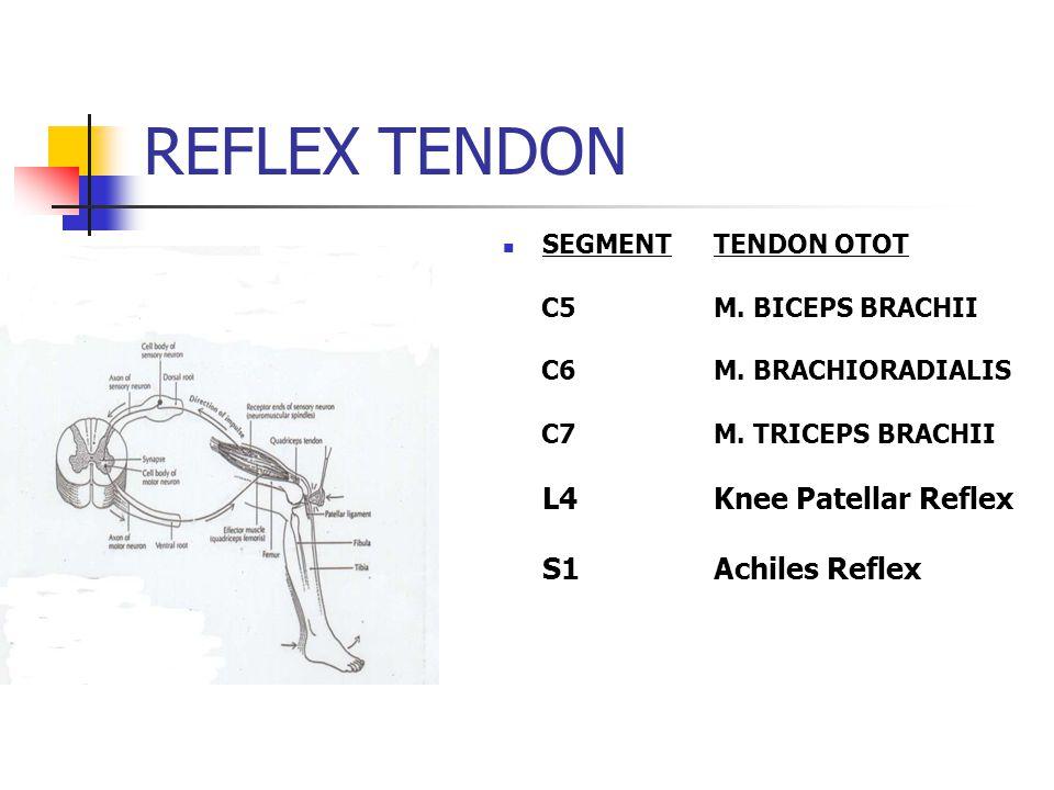 REFLEX TENDON SEGMENTTENDON OTOT C5 M. BICEPS BRACHII C6 M. BRACHIORADIALIS C7M. TRICEPS BRACHII L4Knee Patellar Reflex S1Achiles Reflex
