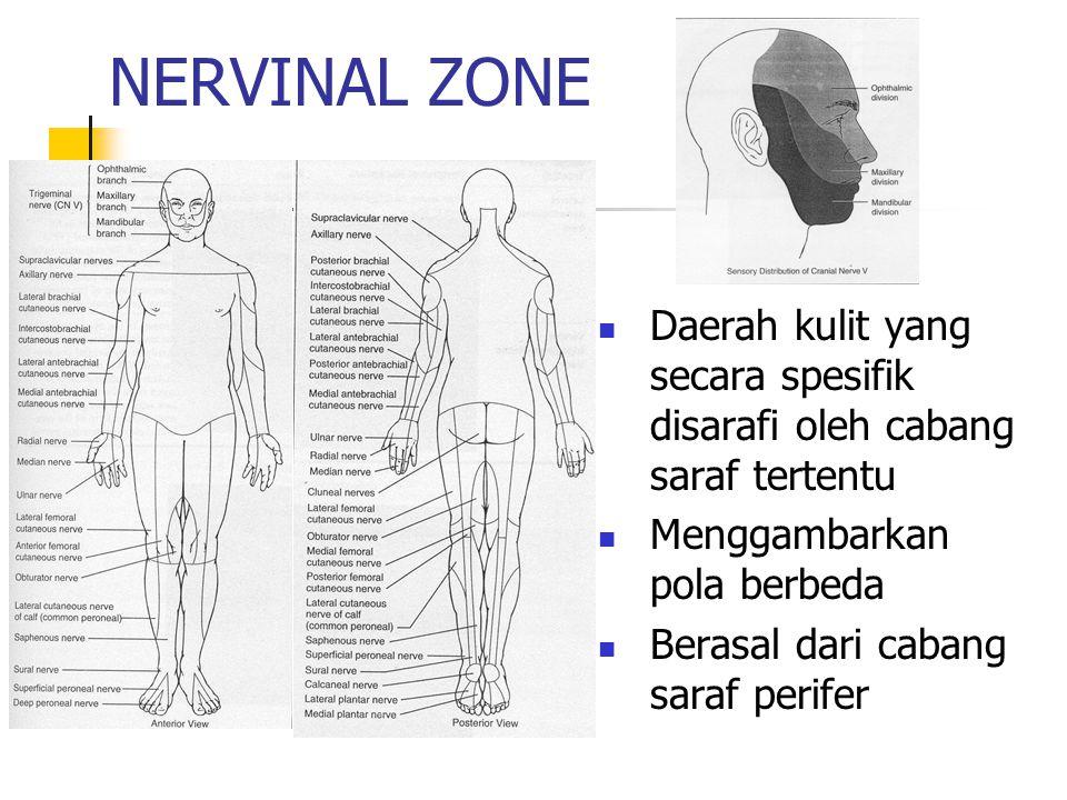 NERVINAL ZONE Daerah kulit yang secara spesifik disarafi oleh cabang saraf tertentu Menggambarkan pola berbeda Berasal dari cabang saraf perifer