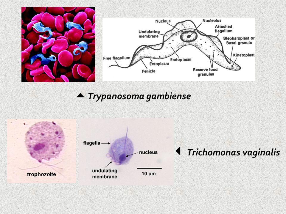  Trypanosoma gambiense  Trichomonas vaginalis