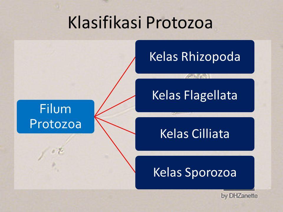 Klasifikasi Protozoa Filum Protozoa Kelas RhizopodaKelas FlagellataKelas CilliataKelas Sporozoa