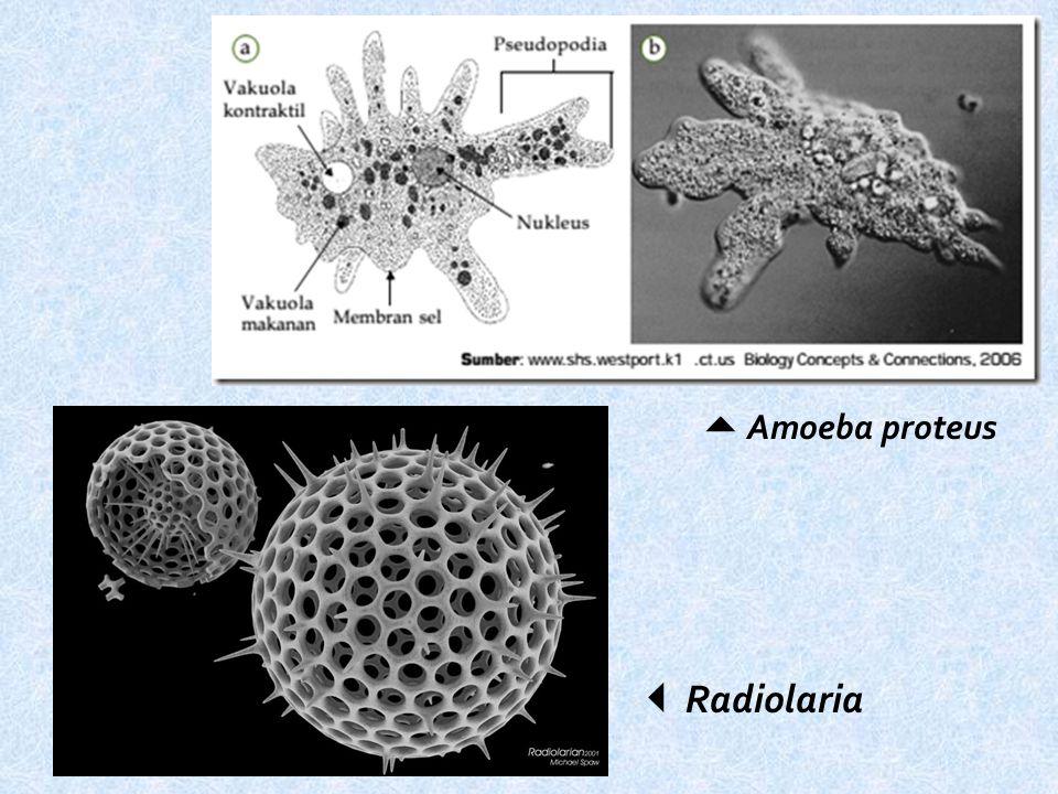  Amoeba proteus  Radiolaria