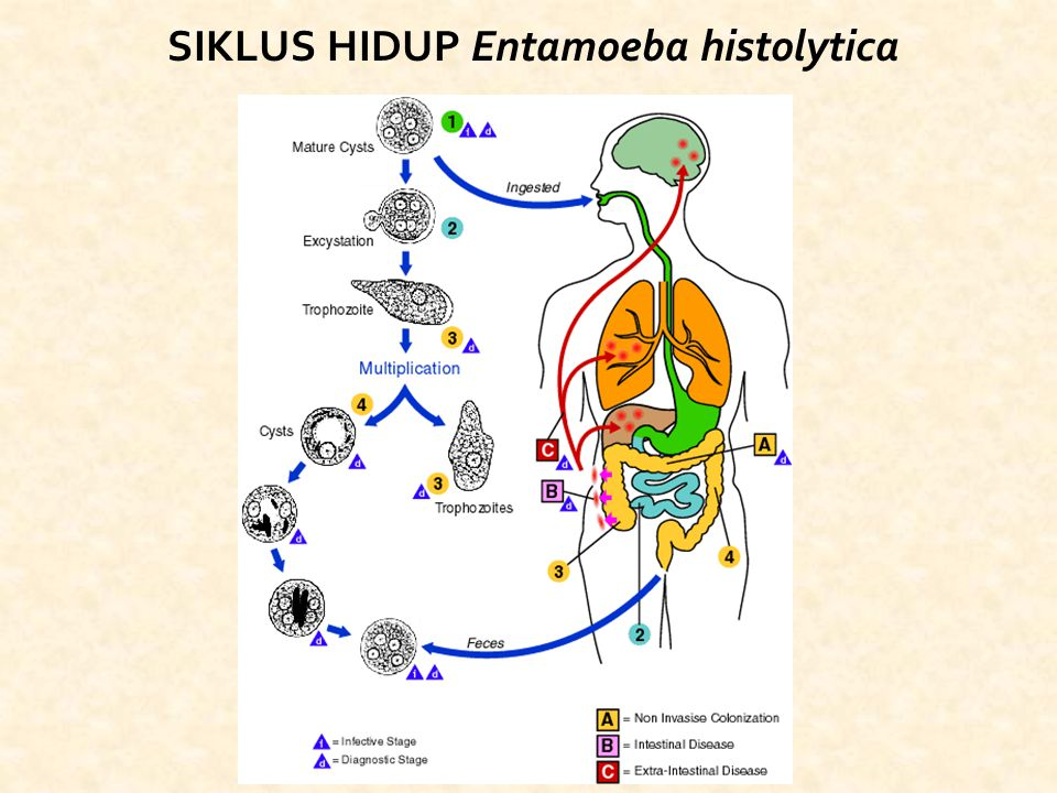 SIKLUS HIDUP Entamoeba histolytica