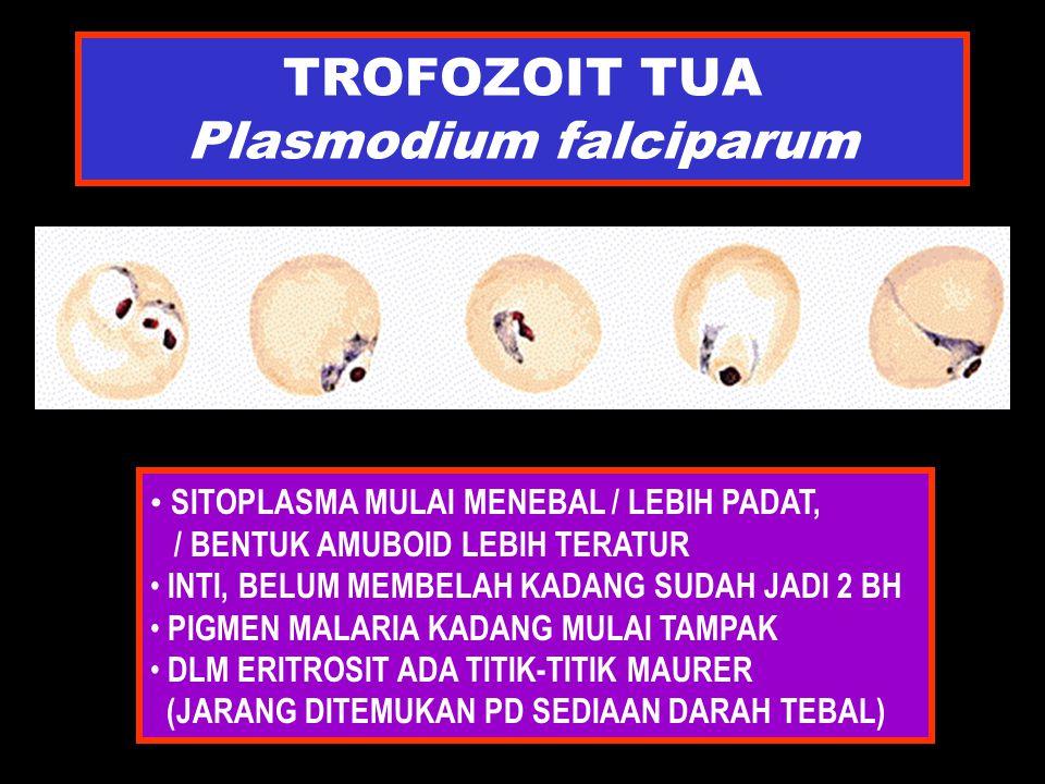 TROFOZOIT TUA Plasmodium falciparum SITOPLASMA MULAI MENEBAL / LEBIH PADAT, / BENTUK AMUBOID LEBIH TERATUR INTI, BELUM MEMBELAH KADANG SUDAH JADI 2 BH