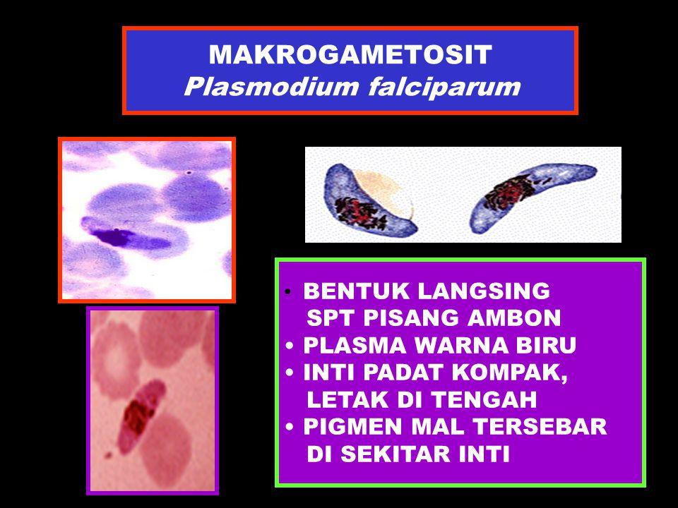 MAKROGAMETOSIT Plasmodium falciparum BENTUK LANGSING SPT PISANG AMBON PLASMA WARNA BIRU INTI PADAT KOMPAK, LETAK DI TENGAH PIGMEN MAL TERSEBAR DI SEKI