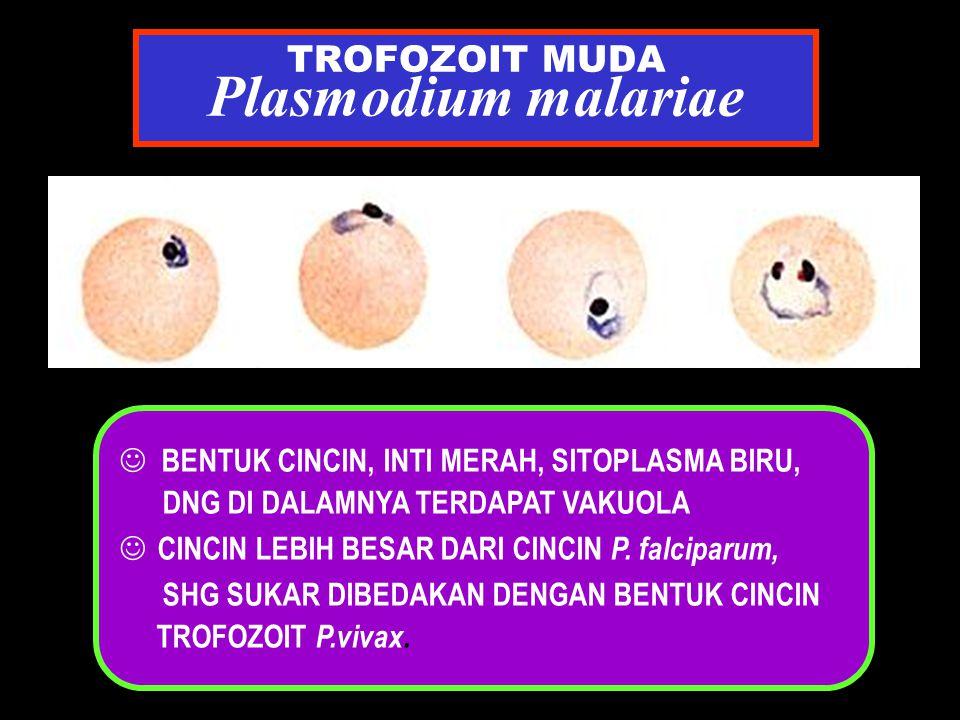 TROFOZOIT MUDA Plasmodium malariae J BENTUK CINCIN, INTI MERAH, SITOPLASMA BIRU, DNG DI DALAMNYA TERDAPAT VAKUOLA CINCIN LEBIH BESAR DARI CINCIN P. fa