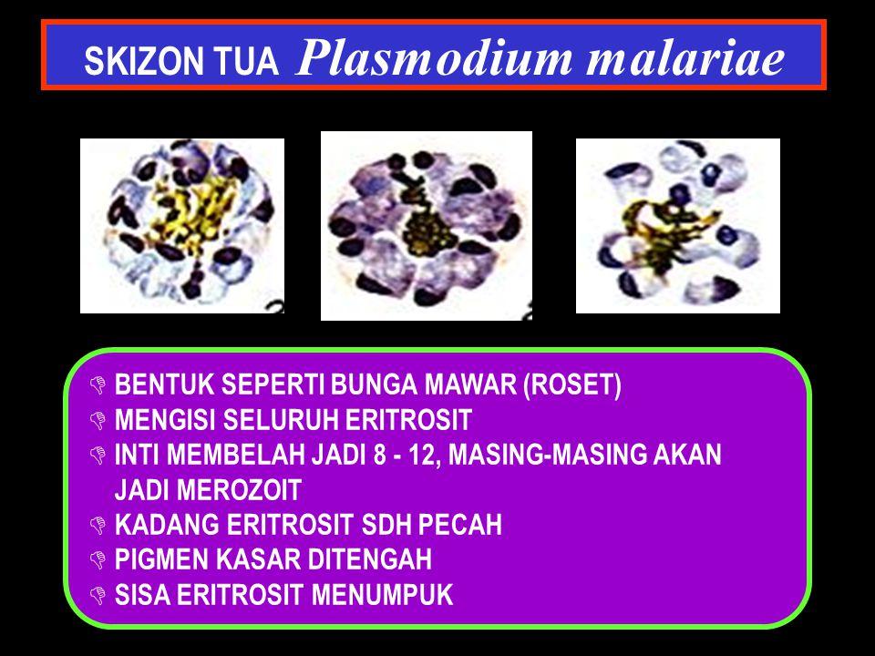 SKIZON TUA Plasmodium malariae D BENTUK SEPERTI BUNGA MAWAR (ROSET) D MENGISI SELURUH ERITROSIT D INTI MEMBELAH JADI 8 - 12, MASING-MASING AKAN JADI M