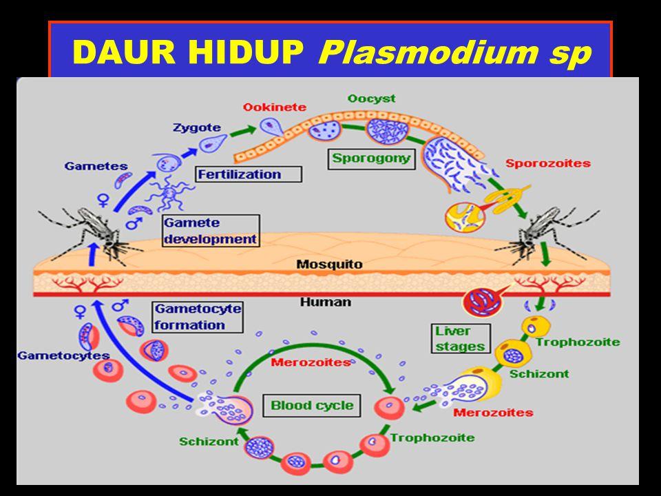 MIKROGAMETOSIT Plasmodium falciparum BTK GINJAL/PISANG GEMUK PLASMA MERAH MUDA INTI BESAR TERSEBAR, PUCAT PIGMEN MAL TERSEBAR DI ANTARA INTI