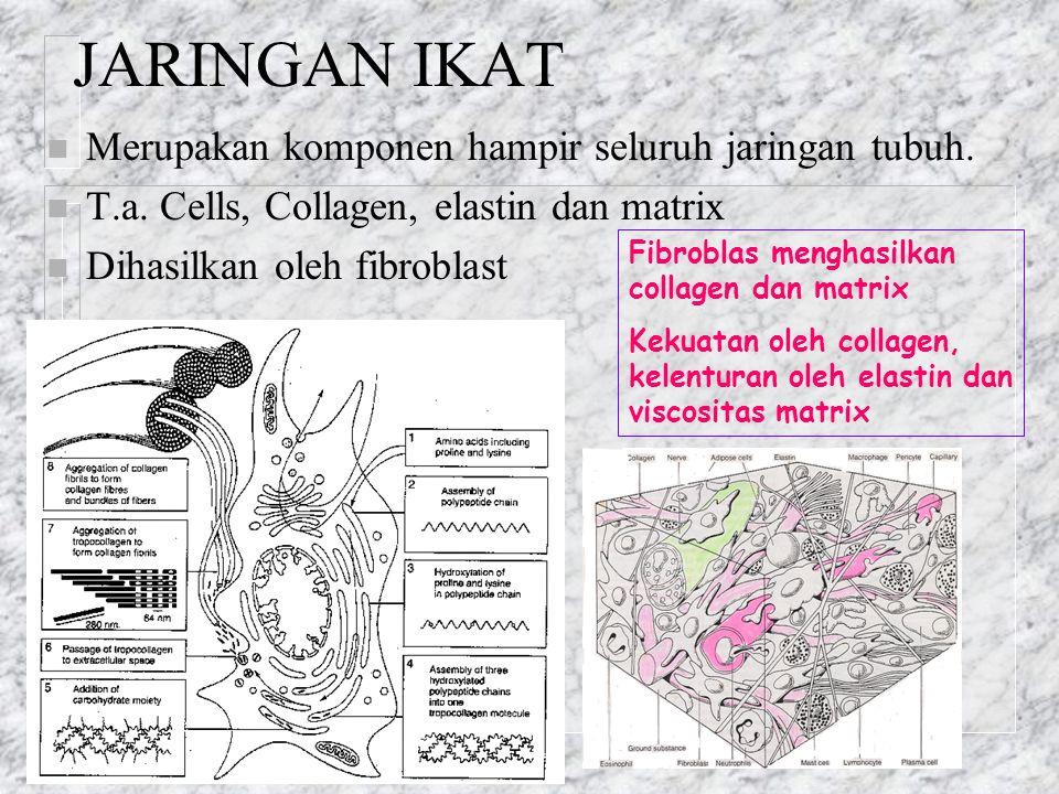 JARINGAN IKAT n Merupakan komponen hampir seluruh jaringan tubuh. n T.a. Cells, Collagen, elastin dan matrix n Dihasilkan oleh fibroblast Fibroblas me