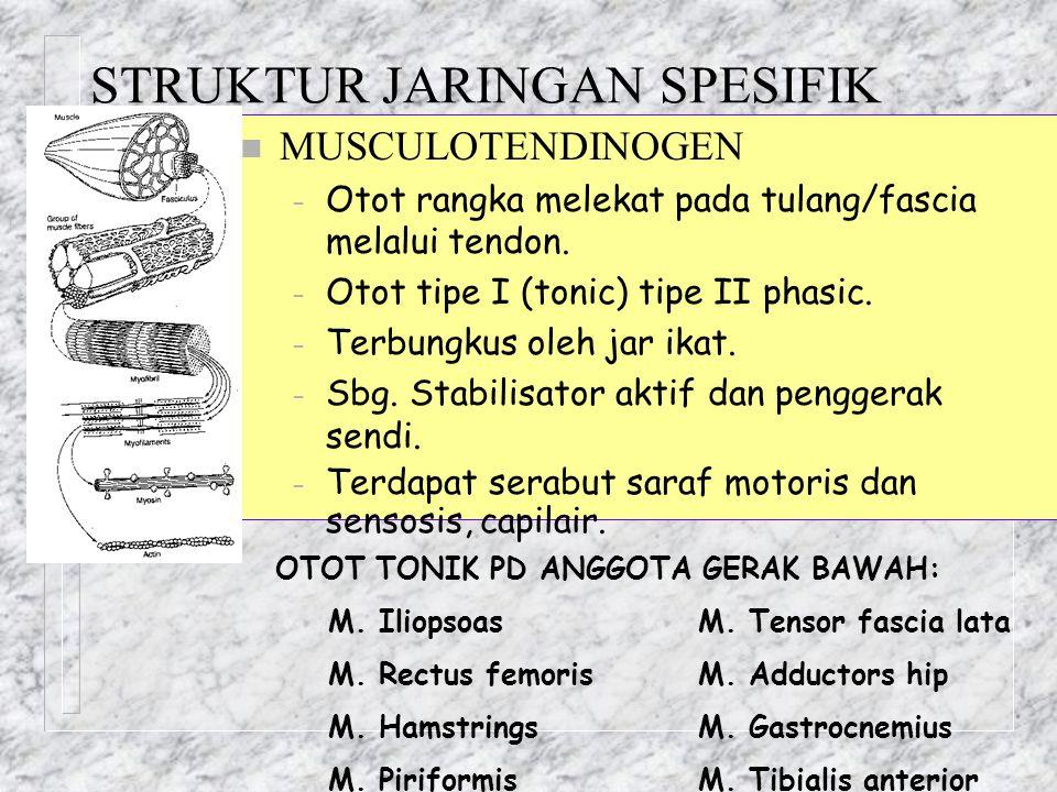 STRUKTUR JARINGAN SPESIFIK n MUSCULOTENDINOGEN – Otot rangka melekat pada tulang/fascia melalui tendon. – Otot tipe I (tonic) tipe II phasic. – Terbun