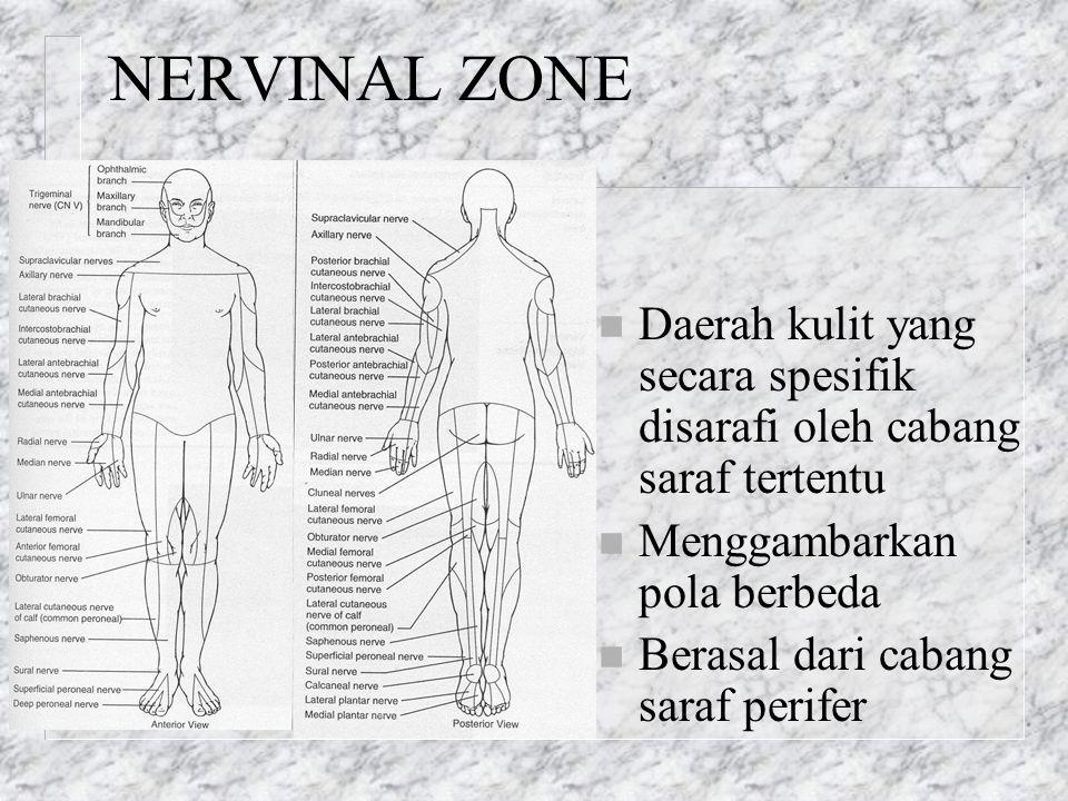 NERVINAL ZONE n Daerah kulit yang secara spesifik disarafi oleh cabang saraf tertentu n Menggambarkan pola berbeda n Berasal dari cabang saraf perifer