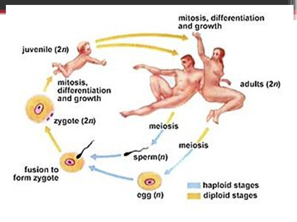 Prinsip Hereditas Prinsip stabilitas : hereditas, itu berproses dengan perantara sel-sel benih, dan tidak melalui sel-sel somatic atau sel-sel badan.