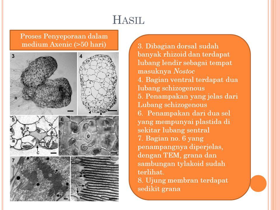 H ASIL 3. Dibagian dorsal sudah banyak rhizoid dan terdapat lubang lendir sebagai tempat masuknya Nostoc 4. Bagian ventral terdapat dua lubang schizog