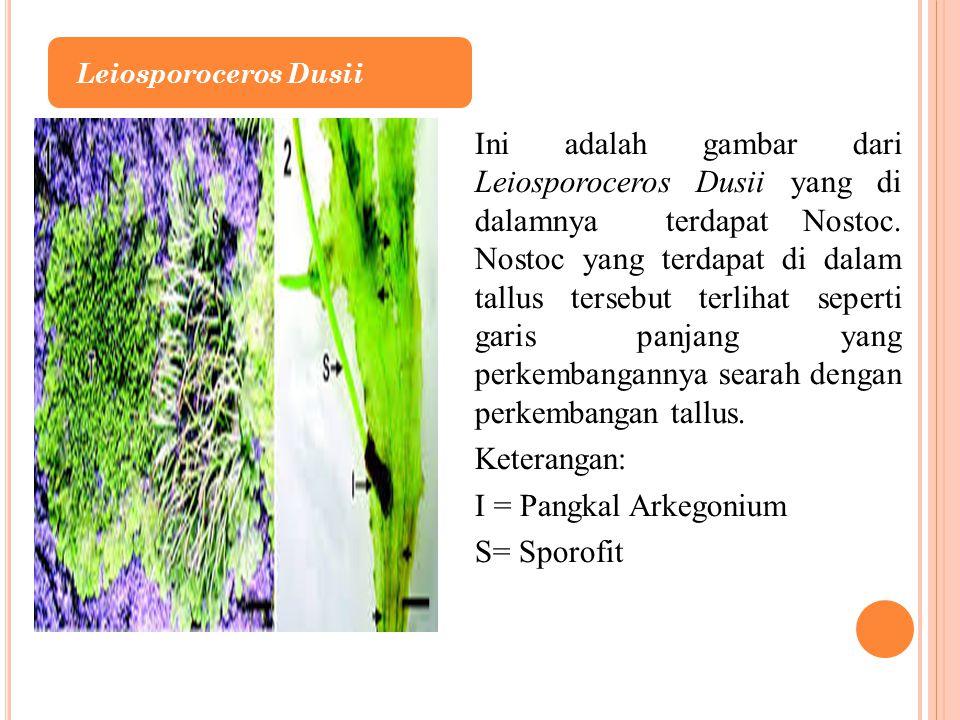 Ini adalah gambar dari Leiosporoceros Dusii yang di dalamnya terdapat Nostoc. Nostoc yang terdapat di dalam tallus tersebut terlihat seperti garis pan