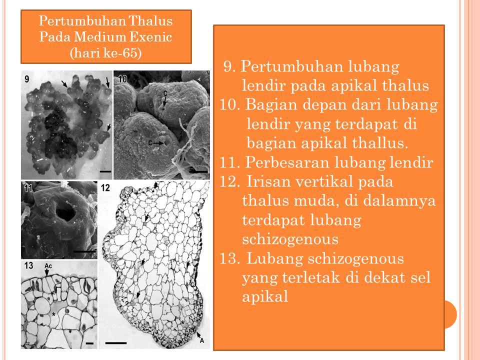 9. Pertumbuhan lubang lendir pada apikal thalus 10. Bagian depan dari lubang lendir yang terdapat di bagian apikal thallus. 11. Perbesaran lubang lend